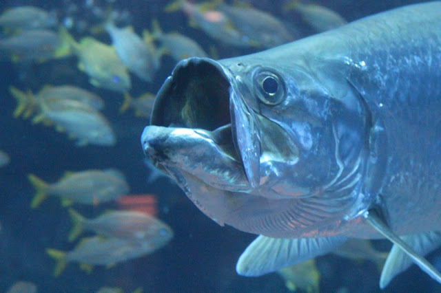 a huge silver-scaled fish with its mouth open