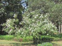 https://lh6.googleusercontent.com/-5m7xTcyqlP8/T2_y3ANKTDI/AAAAAAAAADY/XR2UruAGXvU/s1600/Texas+Olive+Tree+-+Canopy.jpg