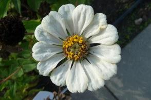 kwiat cynii zinnia flower