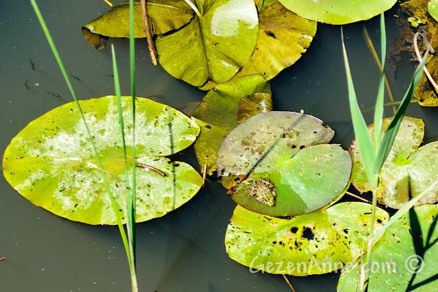 Sakarya, Karasu'daki Acarlar Longozu'nda nilüfer üzerindeki vrak vrak kurbağa