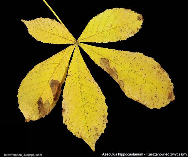 Aesculus hippocastanum - Kasztanowiec zwyczajny