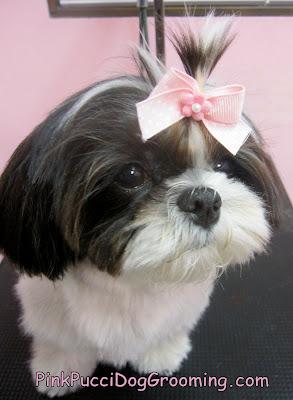 Sakura The Shih Tzu Dog Grooming Example Pink Pucci