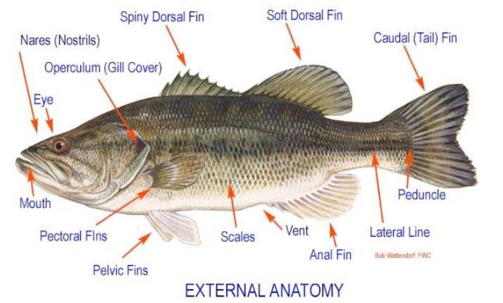 Anatom a y disecci n de un pez melken en la ciencia for Pez cachama
