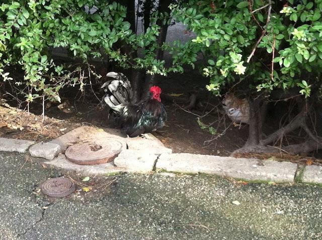Курицы и петухи свободно гуляют по зоопарку