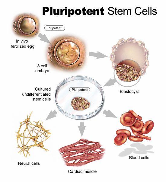 Menumbuhkan kuping pada cawan petri dengan stem cell