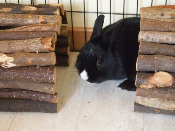 Prince, petit lapin noir-[adopté] Prince3-4f4b0