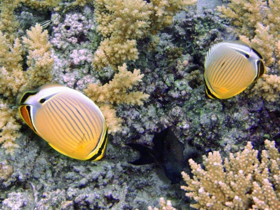 Chaetodon lunulatus (Oval Butterflyfish), Aitutaki.