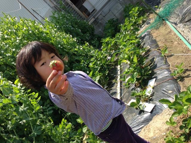 家庭菜園でイチゴ狩り!