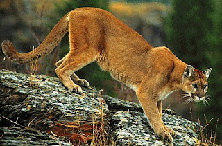 Le cougar espèce officiellement éteinte