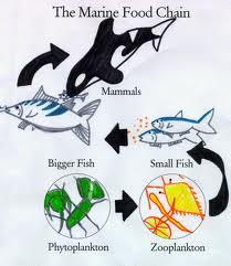 Fitoplankton --> Zooplankton --> Hewan laut kecil --> Hewan laut besar ...