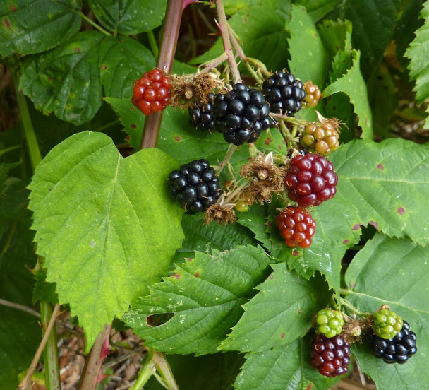 Heart-shaped leaf in the blackberry bramble (submitted by Tony B.)