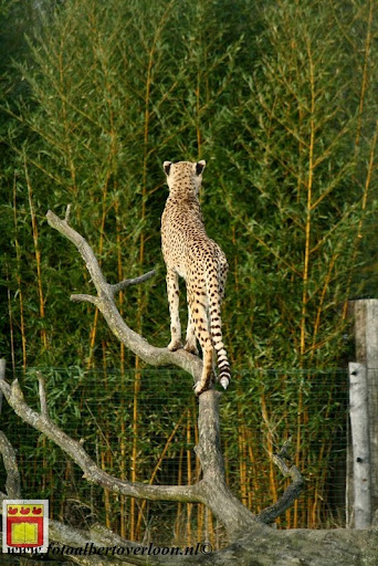 cheetahs vieren hun eerste verjaardag Zoo Parc Overloon (2) 11-11-2012.JPG