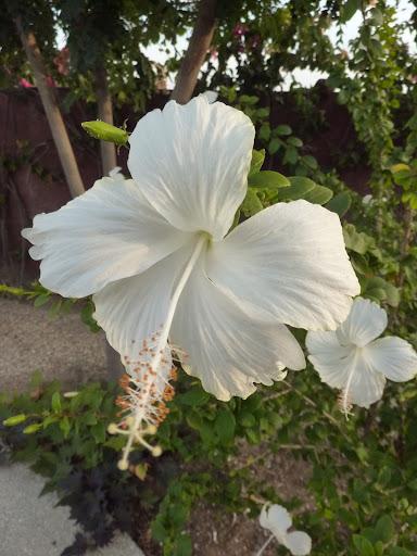 Mes hibiscus et moi...une longue histoire - Page 12 P1030568