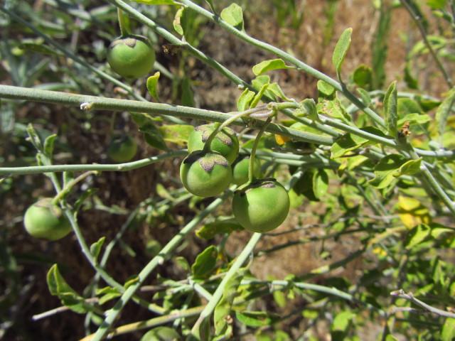big, green berries haning on a bush