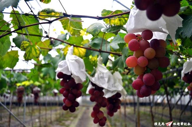 路葡萄酒莊蜜紅葡萄