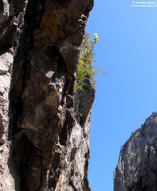 Omag Galben (Aconitum anthora)