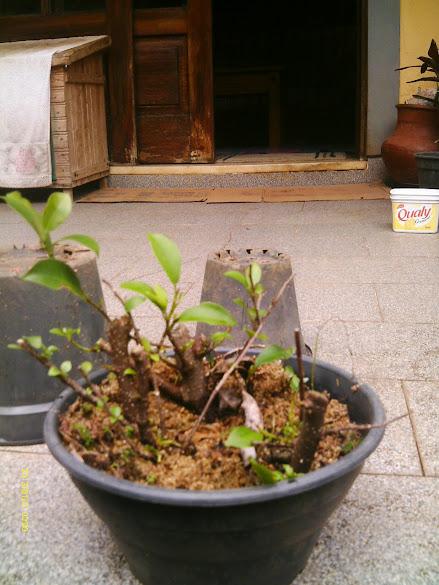 Ficus Microcarpa, finalização Rapida... IMAG0165