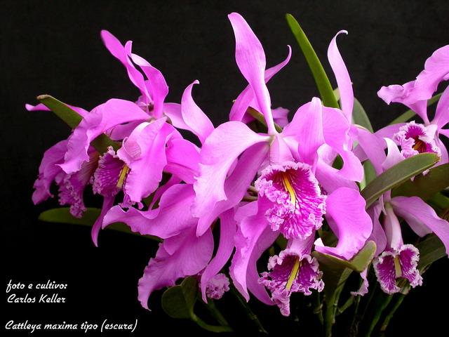 Растения из Тюмени. Краткий обзор - Страница 2 20081106-%252528CK%252529-Cattleya_maxima