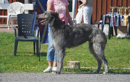 Deerhound Club Show in Finland 8th Aug. 2009: Ingis Typhoon (2. dogs 2-3 yrs)