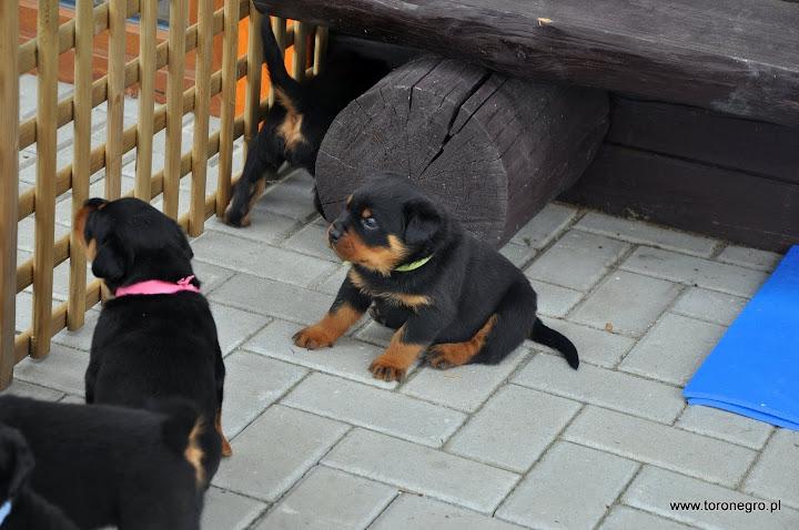 Małe szczeniaki z domowej hodowli rottweilerów Toro Negro