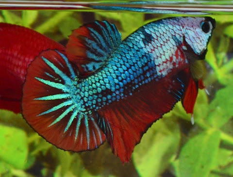Betta fish scientific classification betta fish life for Betta fish life span