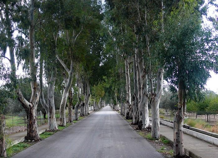 Aleja eukalipusowa na wyspie Rodos