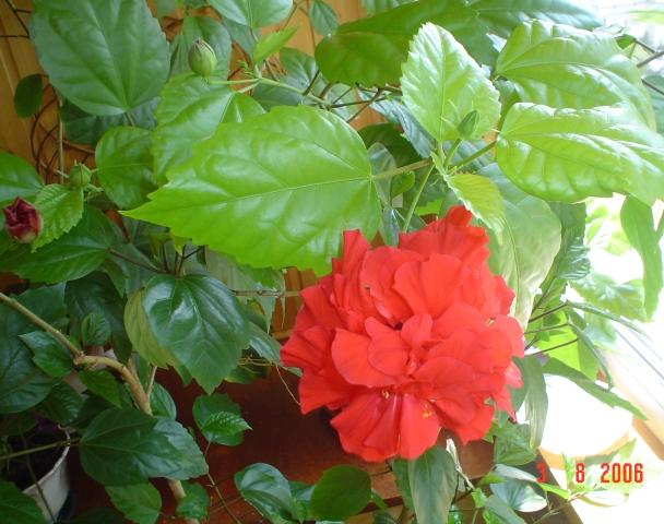 Цветок розан можно ли держать дома