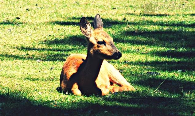 caprioara zoo radauti