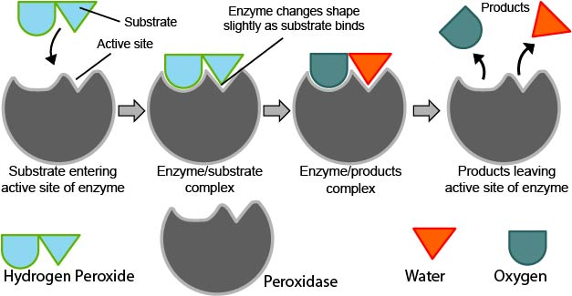 examples of anabolic and catabolic enzymes