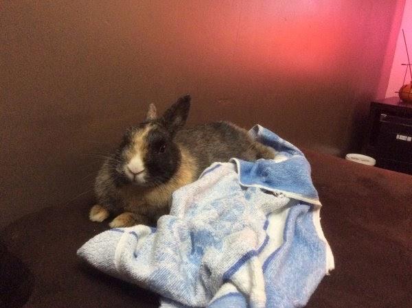 [Adoptée]-Emy-lapine tricolore Emy3-afb4a