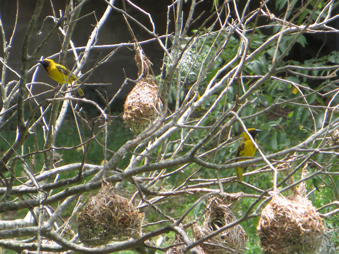 Maskerwevers, (Ploceus velatus), iSimangaliso Wetland Park, Zuid Afrika