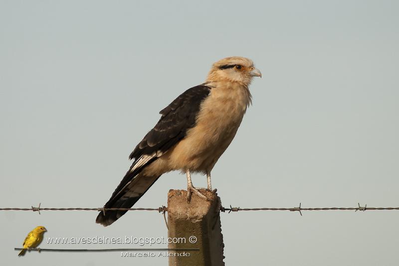 Chimachima (Yellow-headed caracara)