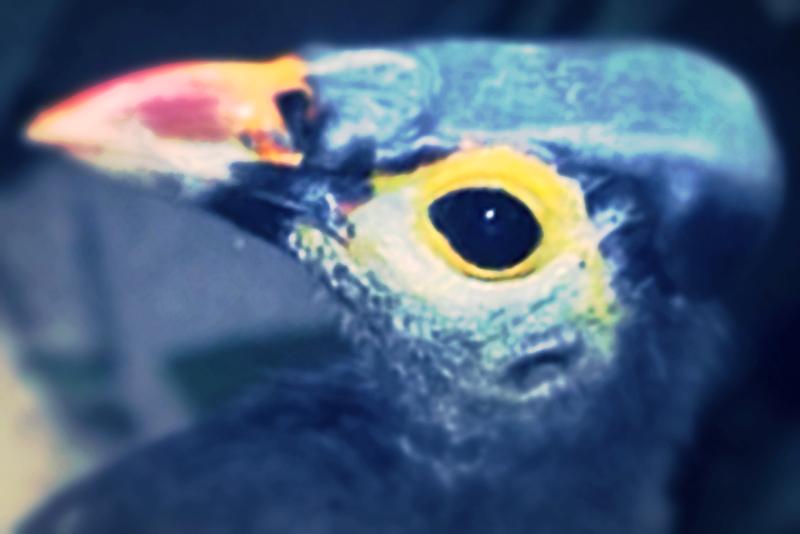 Jenis Burung Langka dan Endemik di Sulawesi