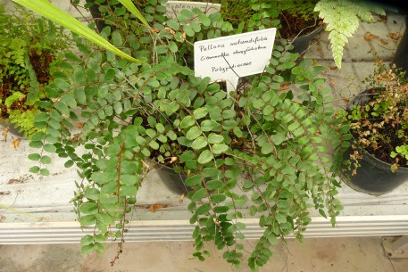 Ciemnotka okrągłolistna w doniczce Pellaea rotundifolia in pot