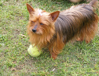 Fairy - the playful yorkie