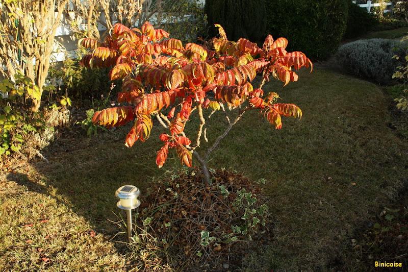 Les feux de l'automne. dans Jardin binicaise IMG_3557b_redimensionner