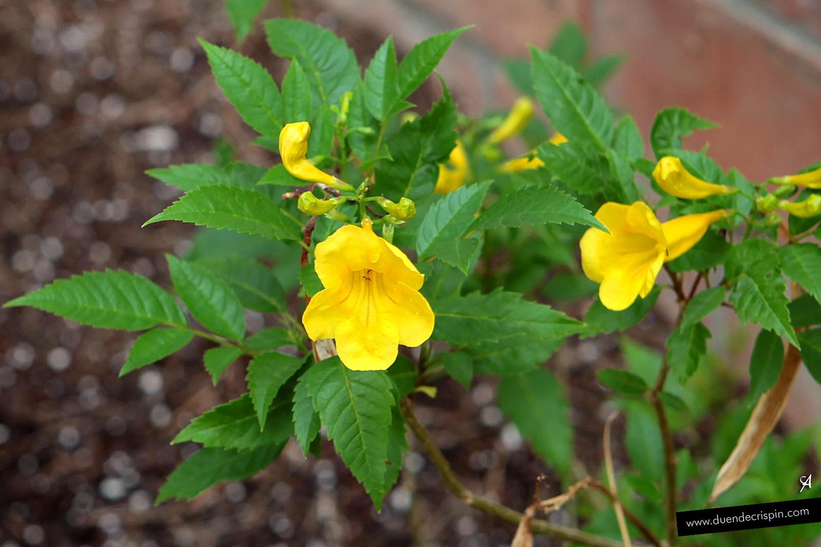 Bignonia amarilla, Roble amarillo, Trompeta de oro