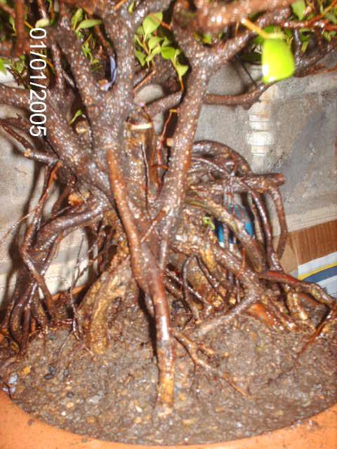 Ficus Microcarpa do Roberto Teixeira... PICT1705