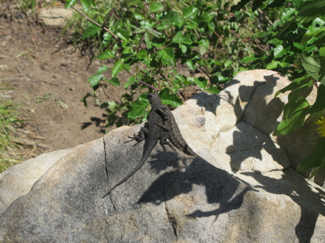 a pair of lizards on a rock