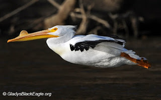 The American white pelican returns during spring migration with a nuptial tubercle which will fall off after the mating season ends. (The 'growth' on the top of his upper beak.)