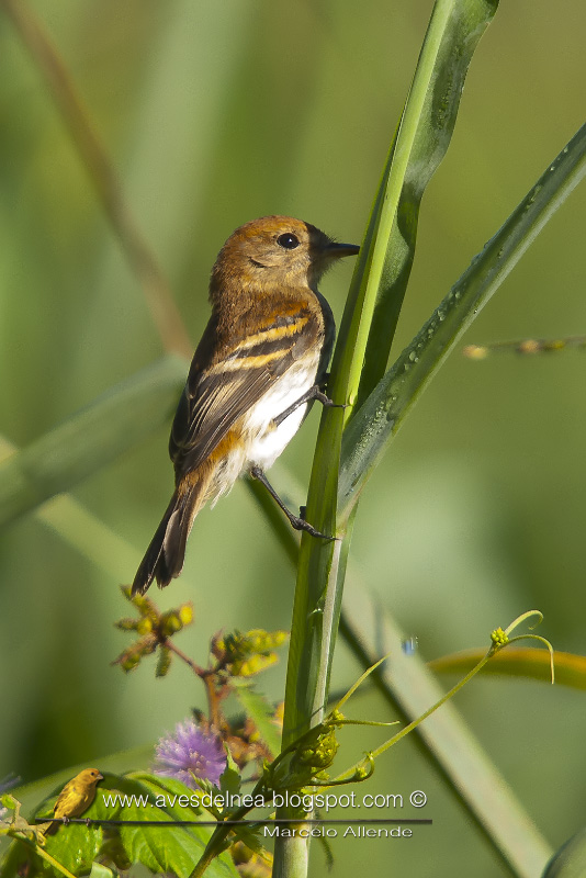 Mosqueta estriada (Bran-colored Flycatcher)