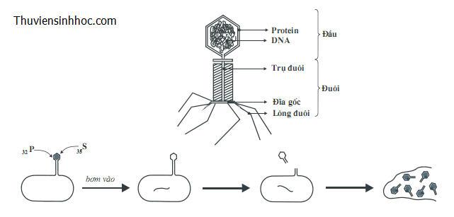 Thí nghiệm chứng minh ADN là vật chất di truyền