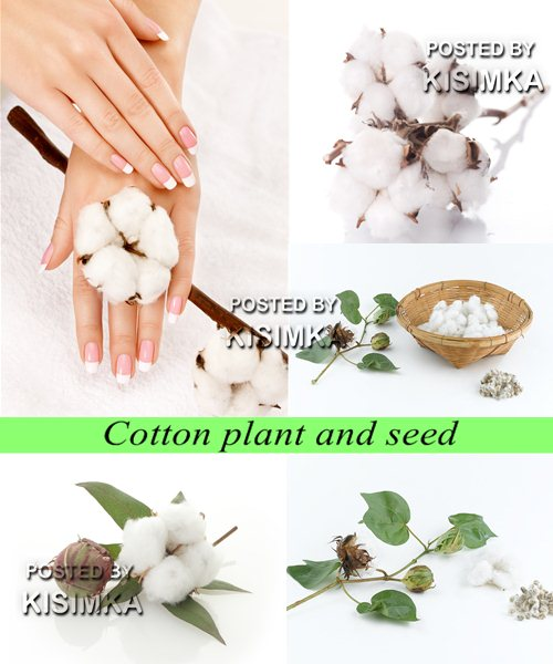 Stock Photo: Cotton plant and seed