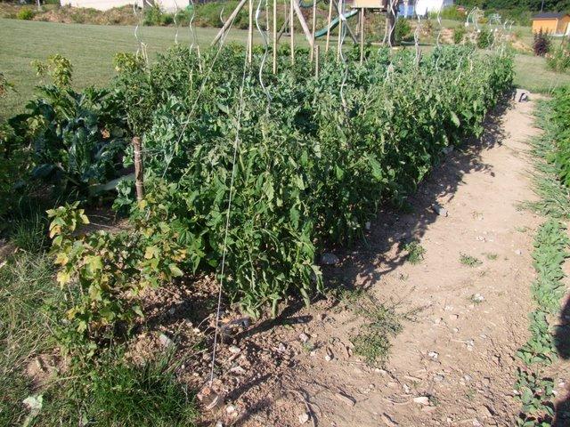 Attache sur ficelle en ext rieur de la plantation la r colte les mordus de - Tuteur tomate avec ficelle ...