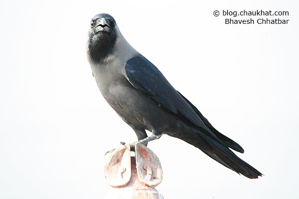 A crow photographed at Bhigwan lake