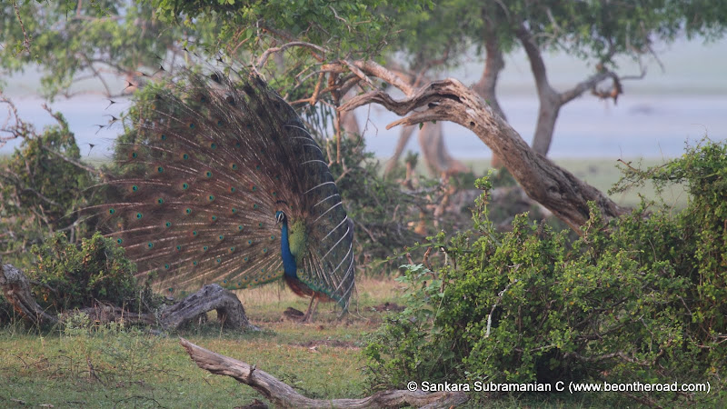 Peacock Mating Dance - 3
