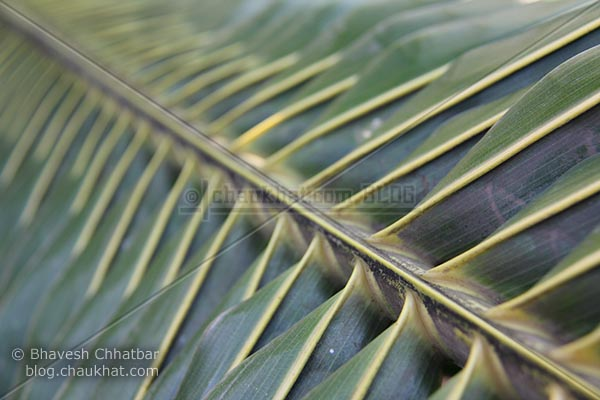 Leaf of a coconut tree