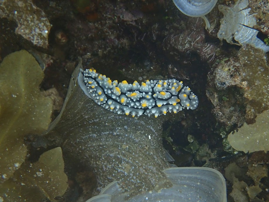 Phyllidia varicosa (Nobbed Nudibranch), Sand Island, Palawan, Philippines.