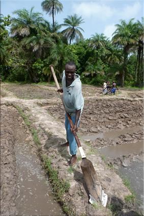 Trabajando en los arrozales, isla de Hitou