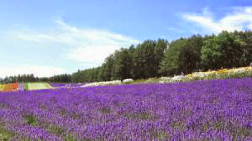 Ufology Paralysed By The Aliens Of The Lavender Field